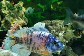 Venta peces ciclidos