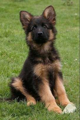 pastor aleman de orejas levantas cachorros de alta categoría puros y super sanos y activos
