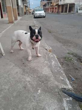 Busco novia bulldog frances