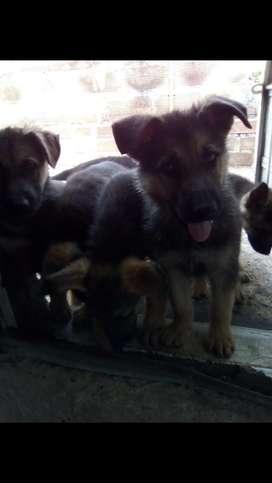 Vendo perritos raza pastor aleman