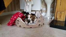 Cachorros beagle en venta brindamos garantía raza y salud