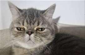 Gata Himalaya Blue Point y gato Exótico