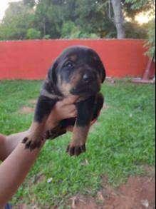 Ofrecemos raza pastor alemán Cada cachorro se entrega acompañados de excelentes garantías