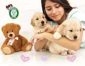 Cachorros Golden,samoyedo,labrador,poodle,bulldog,yorkshire,siberiano,pug,jack,westy,bull terrier en Pet Vital