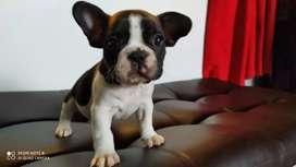 Imperactivos Bulldog francés Cachorritos