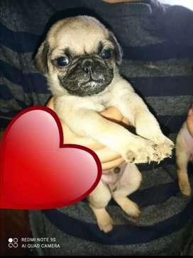 Pug Carlino