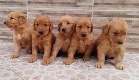 Perro golden puro