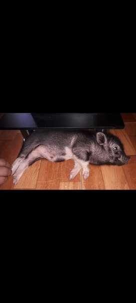 Venta de mini pig