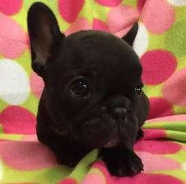 Bulldog frances negros de lindo estandar pequeños. 60 dias.