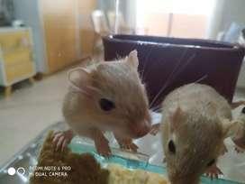 Hamsters listos para entregar