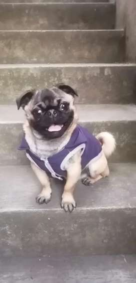 Busco pareja hembra para mi perro Pug