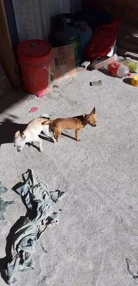 Monta perros