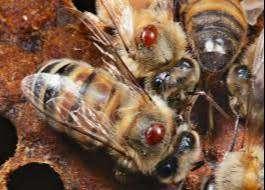 ALUEN CAP* Acido Oxalico para abejas* Organico contra varroa