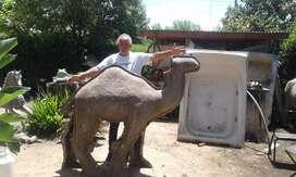 Dromedario  ( camello )