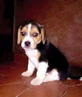Originales beagle bellísimos