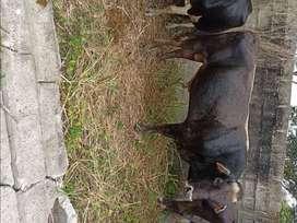 Se vende toro brown swiss