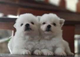 Disponibles Hermosos Cachorros Pomerania