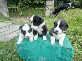 Hembra y macho Bellos border collie