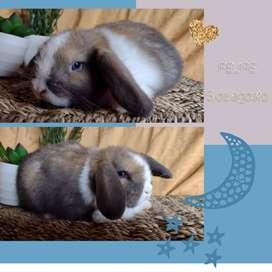 Conejos para mascotas: orejas caídas holland's lops
