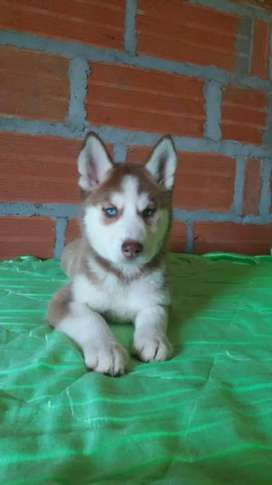 Manto rojo hermosa cachorra husky última disponible