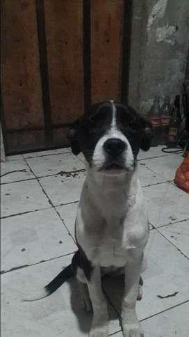 Vendo cachorra pit bull terrier americana