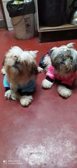 Doy en adopción mis cachorritos por temas familiares son parejitas raza shizup tienen 10 meses