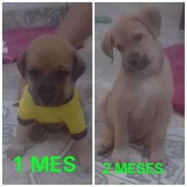 Se vende cachorro labrador mestizo muy barato 150.000 mil