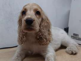 CACHORROS COCKER SPANIEL INGLES