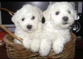 Cachorros bichón frisé