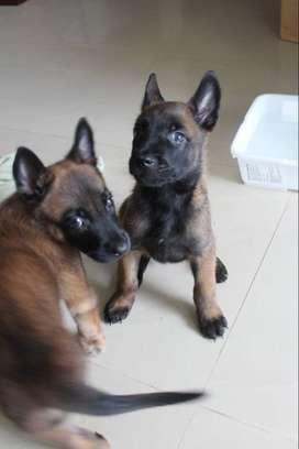 Se venden cachorros Pastor Belga Malinois (Carbonados)