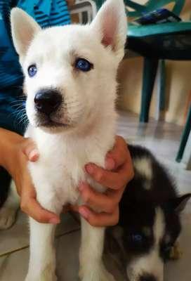 Se vende cachorros Husky Siberianos