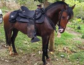 Vendo caballo p2 capón con registro