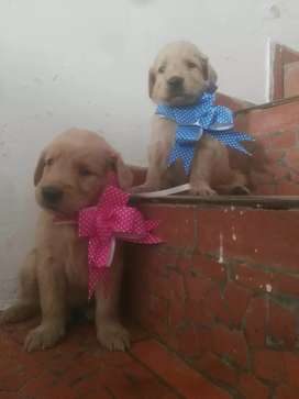 Apacionados golden retriever en venta