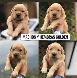 Golden retriever linea registro