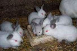 venta de 3 conejos californianos tambien compra individual