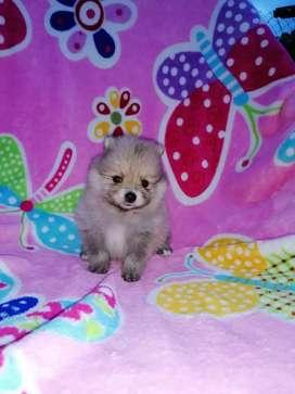 Preciosa pomerania Lulú cara de oso 45 días de nacido