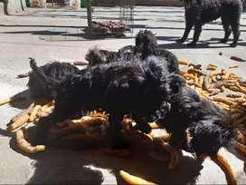 Vendo perritos poodle