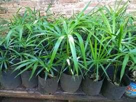 PALMERAS DE ACAI  ( plantulas ) X 100