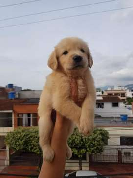 Divertidos y consentidos golden retriever