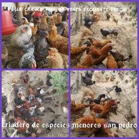 Venta de pollos criollo en pie