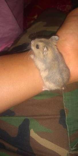 Hamster Chinos