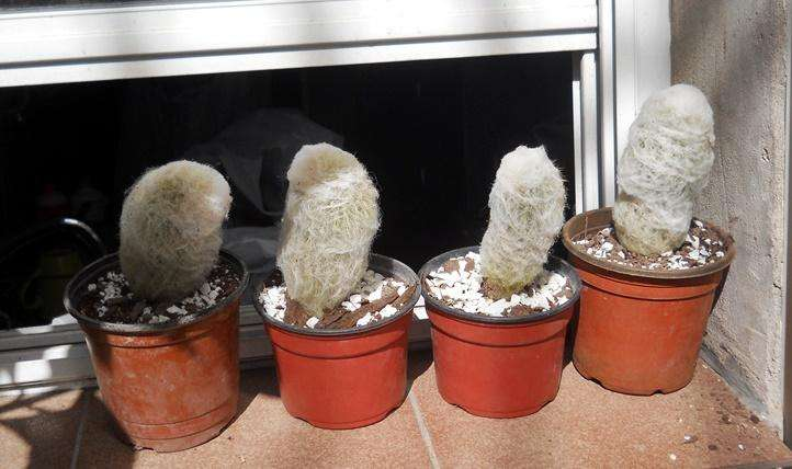 cactus espopstoa lanata cabeza de viejo 10 cm alto M 10 0