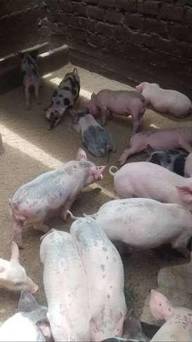 Lechones y cerdos