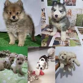En venta bulldog ingles pomerania Lulú Schnauzer y otras razas