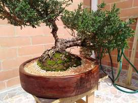 Bonsai Junipero Chino Antiguo