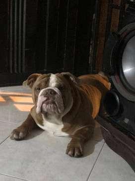 bulldog ingles exotico para monta