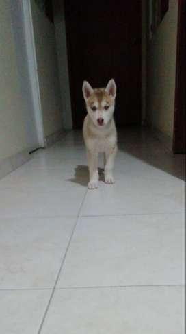 Loba/Husky Siberiano