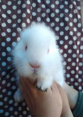 Conejos cabeza de León para Mascota - Precio x Unidad