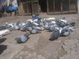 Vendo palomas todas juntas