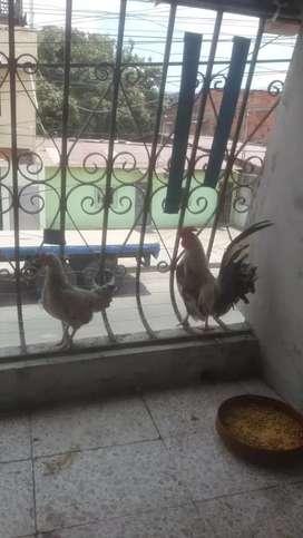 Venta de gallos pequeños